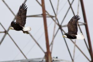 Eagle Chase 1 by bovey-photo