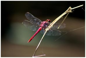Red Dragonfly by JacquiJax