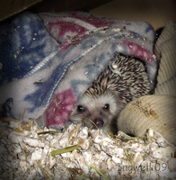 Hidden and warm Hedgehog by IngwellRitter