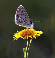 Polyommatus icarus by lisans
