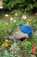 peacock in the park by picture-melanie