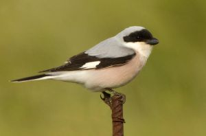 Lesser Grey Shrike by Jamie-MacArthur