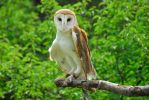 CatherineCross Barn Owl by CatherineCross
