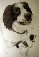 Commission - English Springer Spaniel by Captured-In-Pencil