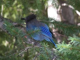 Stellar Jay by creativeCrater