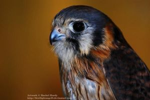 Kestrel by 8TwilightAngel8