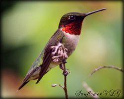 Ruby-throated Hummingbird by sunflowervlg