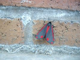 Cinnabar Moth I by Hazardous-Desires