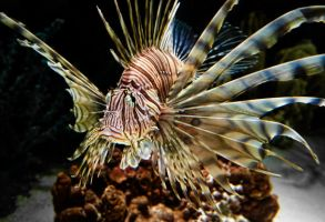 Lionfish by braxtonds