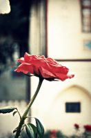 The rose from Bakhchisaray by CocoaDesert
