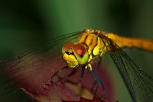 dragonfly by ola-photo