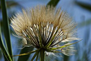 Seeds of meadow salsify 2 by Gerfer