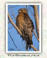 Red Shouldered Hawk by Merlinstouch