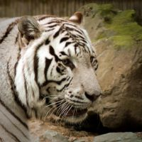 White tiger portrait by steppeland