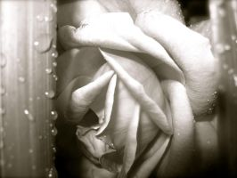 Black and White Rose by wolfgal04