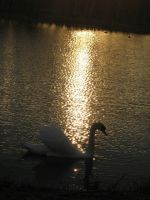 The Swan in the sunset by vonderwall