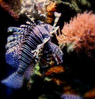 Lionfish by ScHoKoKeKsChEn