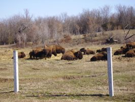 Shelby Farms Buffalo by tsims533