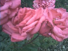 roses 3 by the-alyshleigh-stock