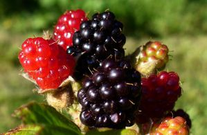 Wild Blackberries by PamplemousseCeil