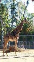 Giraffe at the Zoo by JeanLuc761