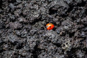 Volcanic Ladybirds by Maltese-Naturalist
