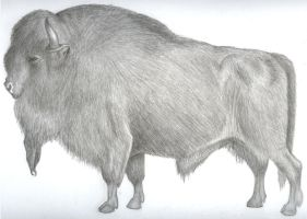 bison by rusty-skye