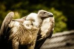 White-backed Vulture by Sudlice