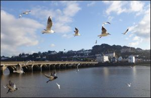 Common Black-headed Gulls Arriving by sags