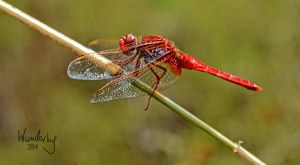 red dragonfly by Wunderling
