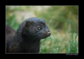 Black American Mink by grugster