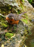 """Molting Robin - """"I'm not ugly"""" by shapu"""