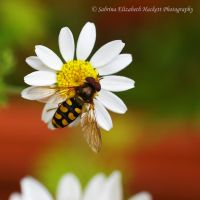 Hoverfly on Daisy by Hitomii