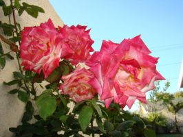 White and Pink Roses V by EmmaL27