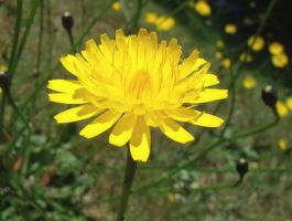 Yellow Dandelion by EmbersOfRelapse