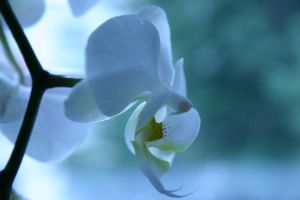 Orchid by stiansame