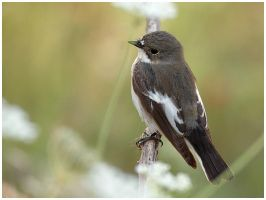Pied Flycatcher by nakitez