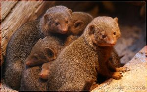 Common Dwarf Mongoose by webcruiser
