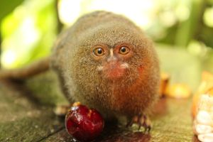 Pygmy Marmoset 2 by margaretrocks