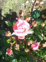 Pink Rose II by robynx13