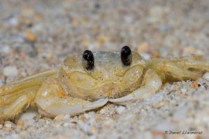 Little crab by dllavaneras