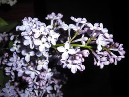 Lilac by Storm1287