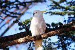 Sulphur-crested Cockatoo by Freya7