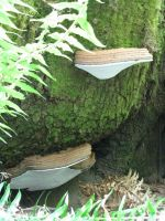 Bracket Fungi by Allison-beriyani