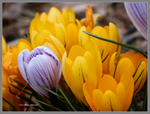 More crocus by Mogrianne