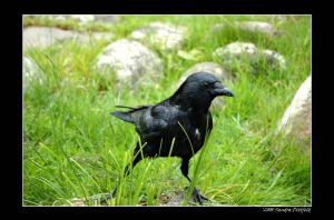 Crow by grugster