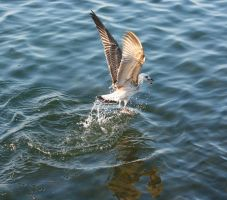 Seagull in action !! by danyel-i