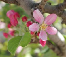 Apple Blossom by meeks105