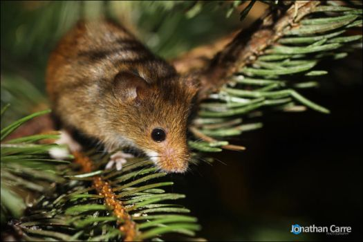280112 Harvest Mouse 1 by InsaneGelfling