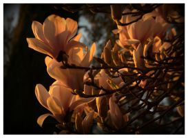 Her Magnificence Magnolia by Isyala